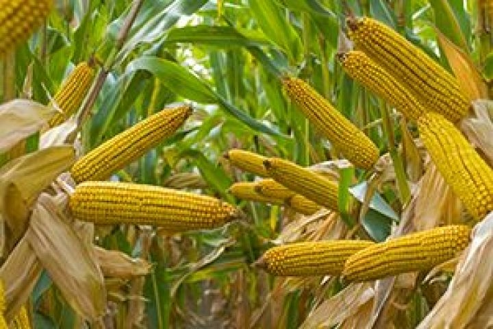 Гибрид кукурузы ДМ Нейтив купить в Украине