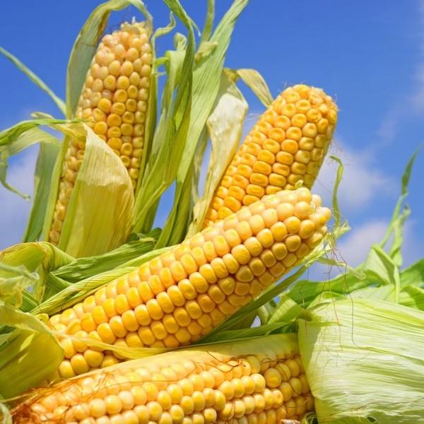 Гібрид кукурудзи ДМ Вінсенте насіння