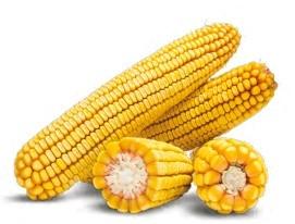 Гибрид кукурузы ДН Аншлаг купить в Украине