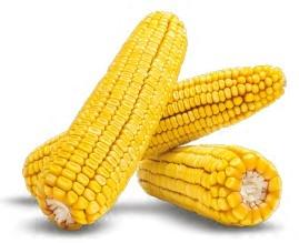 Гибрид кукурузы ДН Берека купить в Украине