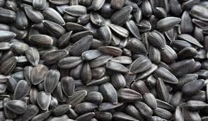 Подсолнечник сорт Добрыня купить семена