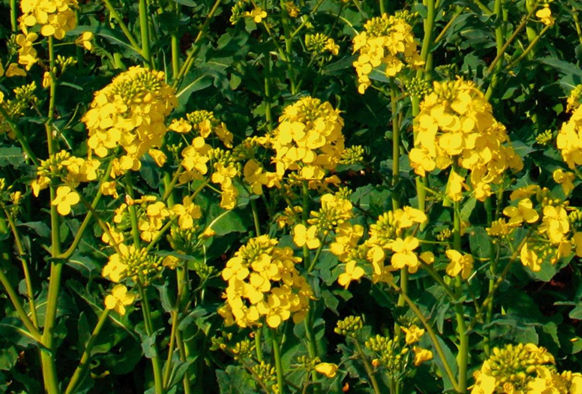 Семена рапса Джампер купить в Украине, описание гибрида, отзывы, цена, доставка