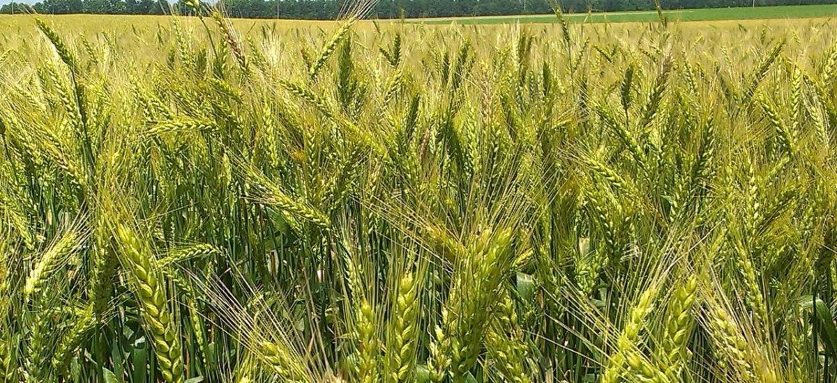 Емеріно насіння австрійської пшениці