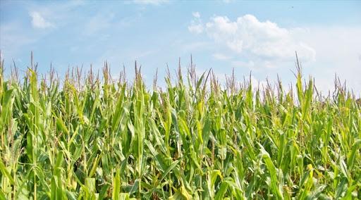 кукуруза гибрид ЕС Анамур семена
