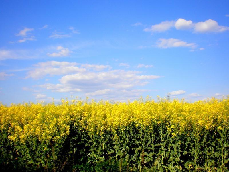Семена рапса ЕС Ангел купить в Украине, описание гибрида, отзывы, цена, доставка