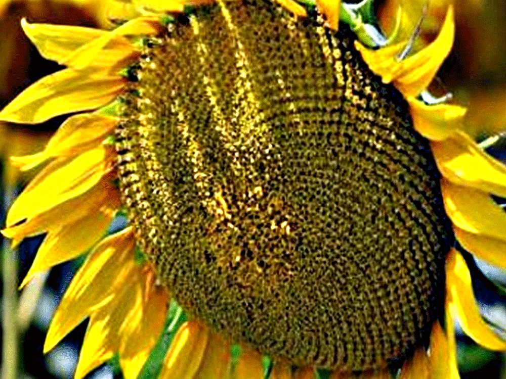 Семена подсолнечника ЕС Артик купить