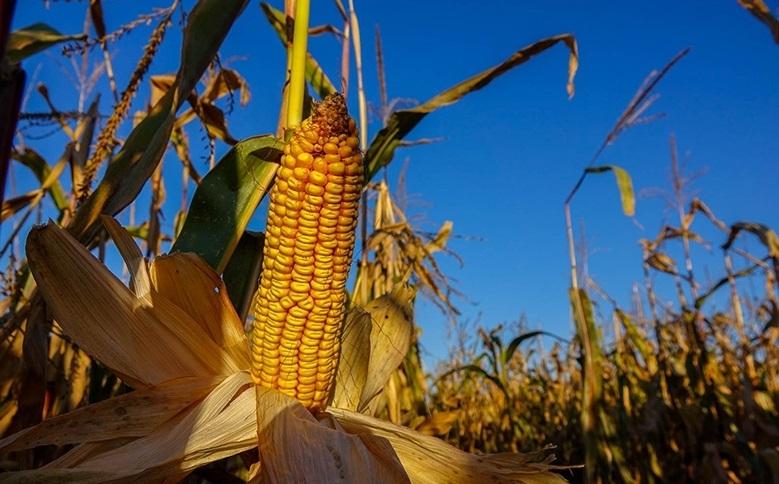 кукурудза гібрид ЄС Фарадей насіння