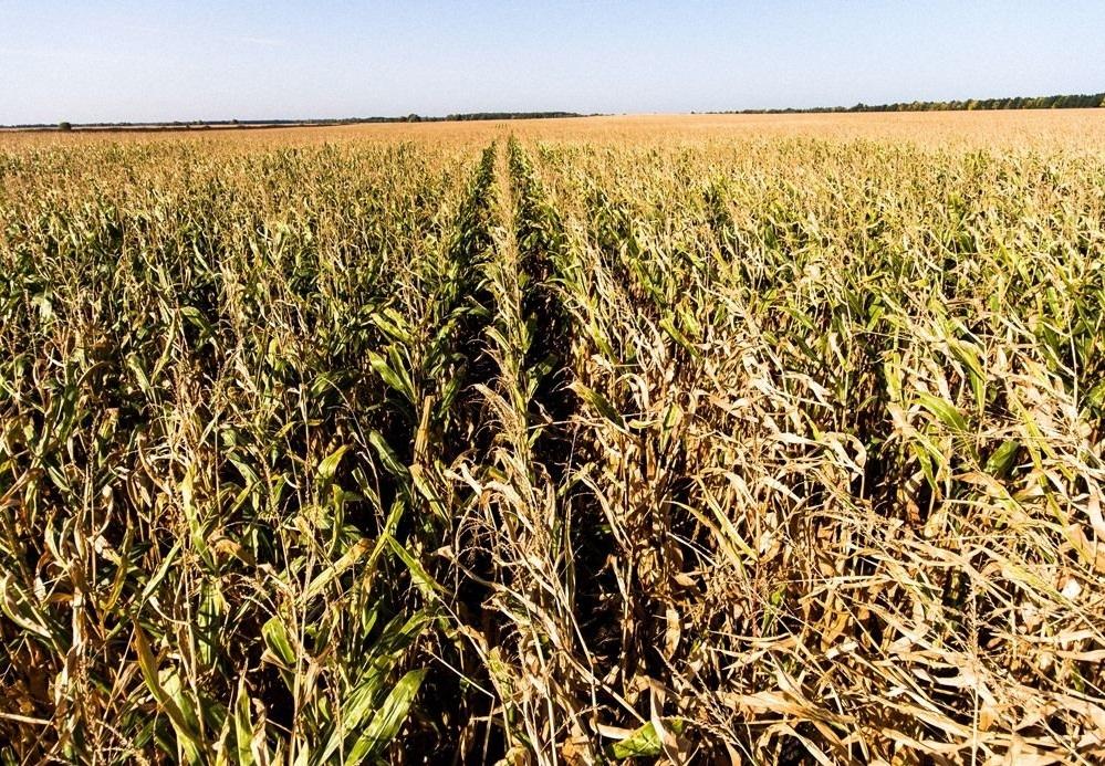 кукуруза гибрид ЕС Конкорд семена