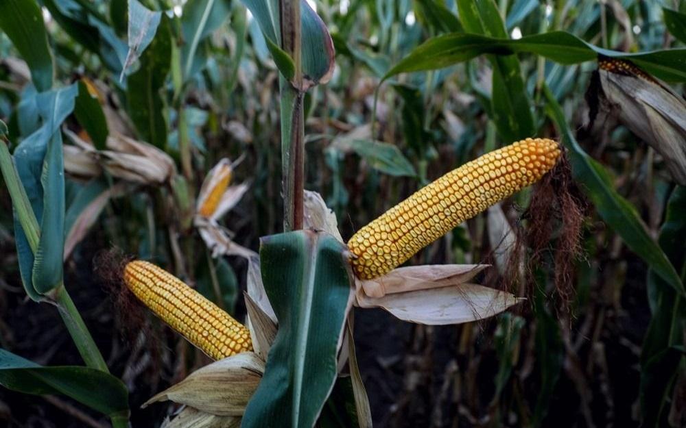 кукурудза гібрид ЄС Креатив насіння