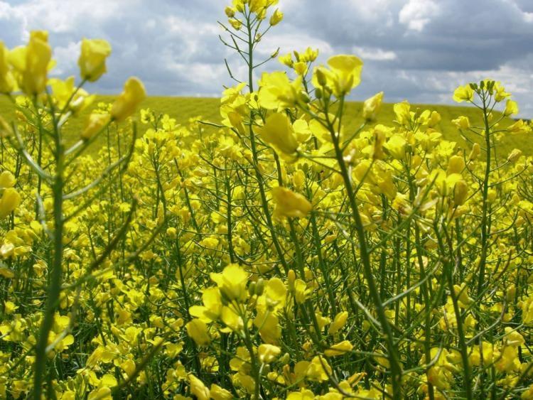Семена рапса ЕС Одис купить в Украине, описание гибрида, отзывы, цена, доставка