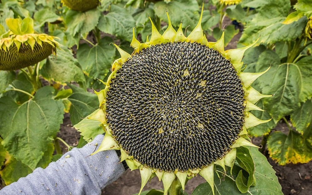 Насіння соняшнику ЄС Савана купити