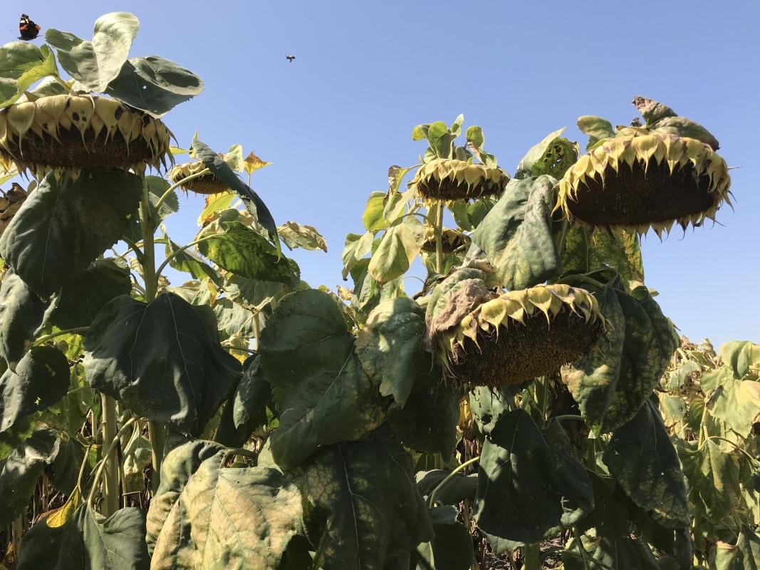 Семена подсолнечника Евро купить в Украине