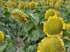 Семена подсолнечника Финистер