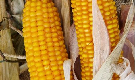 Гібрид кукурудзи Амарок 290 купити в Україні