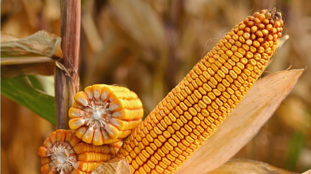 Гибрид кукурузы ДМ Паритет