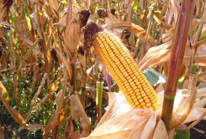 Гибрид кукурузы ДМ Регламент купить в Украине