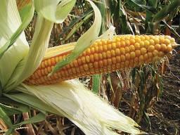 Гибрид кукурузы ДН Галатея