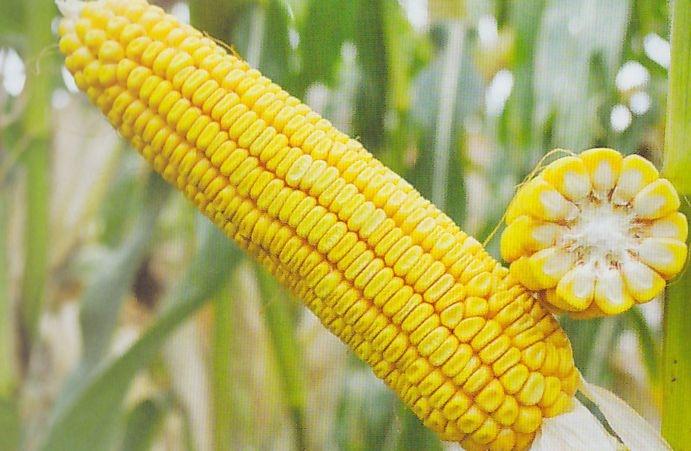 Гибрид кукурузы Днепровский 181 СВ