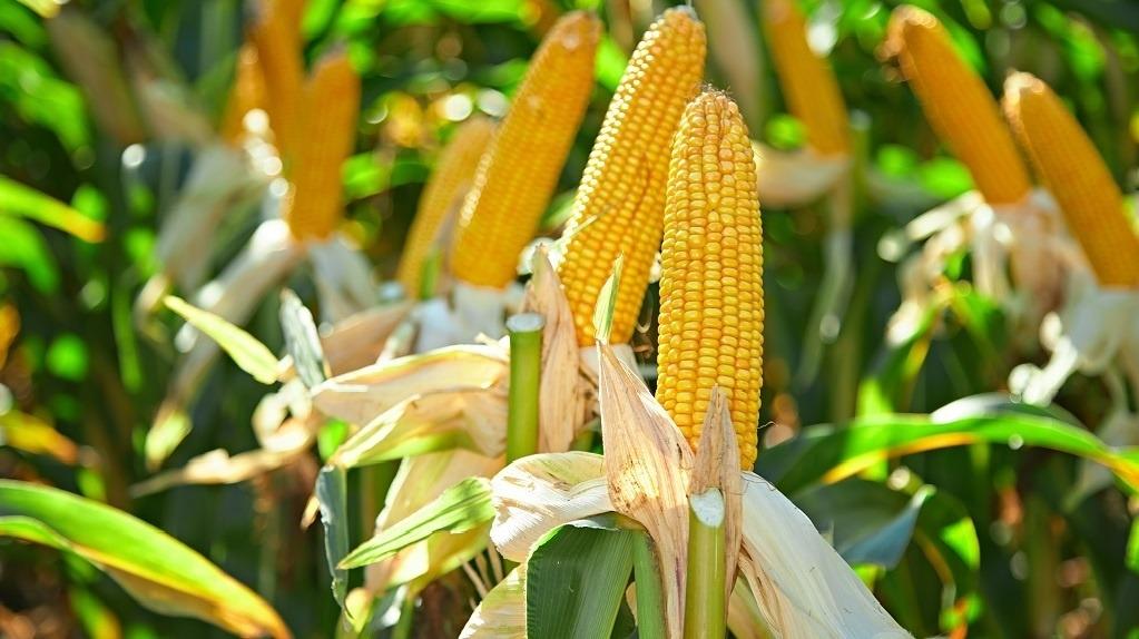 кукуруза гибрид ДС0336 фото