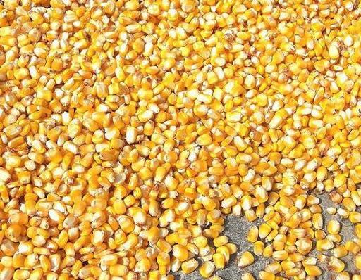 Кукурудза гібрид ДС1304С фото