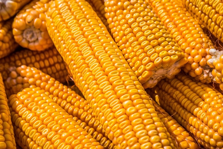 кукуруза гибрид ЕС Катманду семена