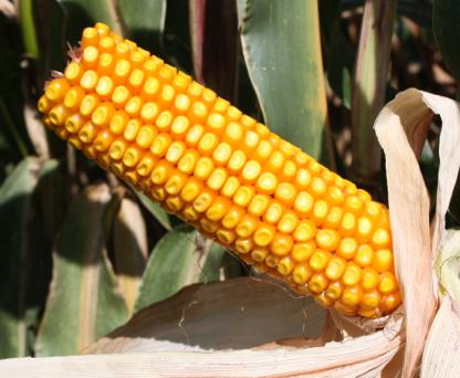Насіння кукурудзи ЛГ 30254 купити насіння