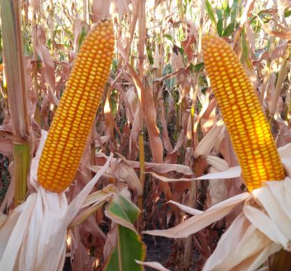 Насіння кукурудзи ЛГ 30273 купити насіння