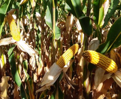 Семена кукурузы ЛГ 31284 купить семена