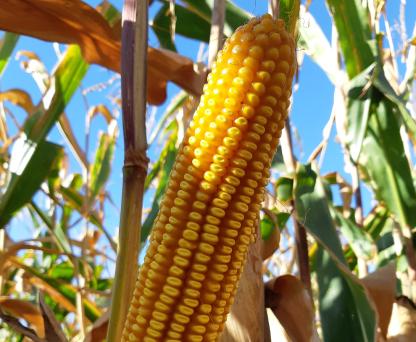 Насіння кукурудзи ЛГ 31330 купити насіння