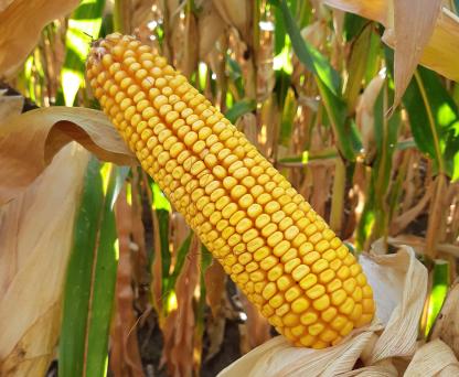 Семена кукурузы ЛГ 31415 купить семена