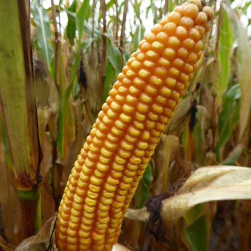 Кукурудза гібрид Мас 15.Т насіння