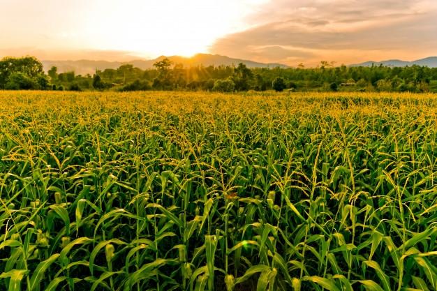 кукуруза гибрид П8723 фото