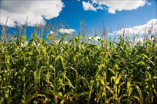 кукуруза гибрид П9485 фото
