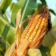 кукуруза гибрид П9757 фото