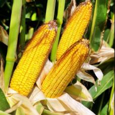 Гибрид кукурузы Рубикон