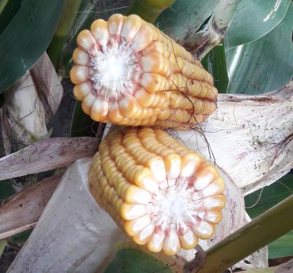Насіння кукурудзи Жаклін купити насіння