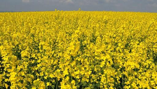 Семена рапса Араззо купить в Украине