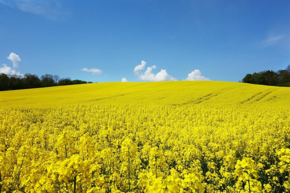 Семена рапса Марк КВС купить в Украине