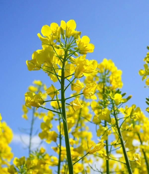 Семена рапса Талел КЛ купить в Украине