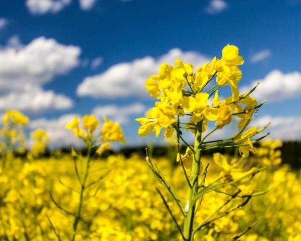 Семена рапса Треззор купить в Украине