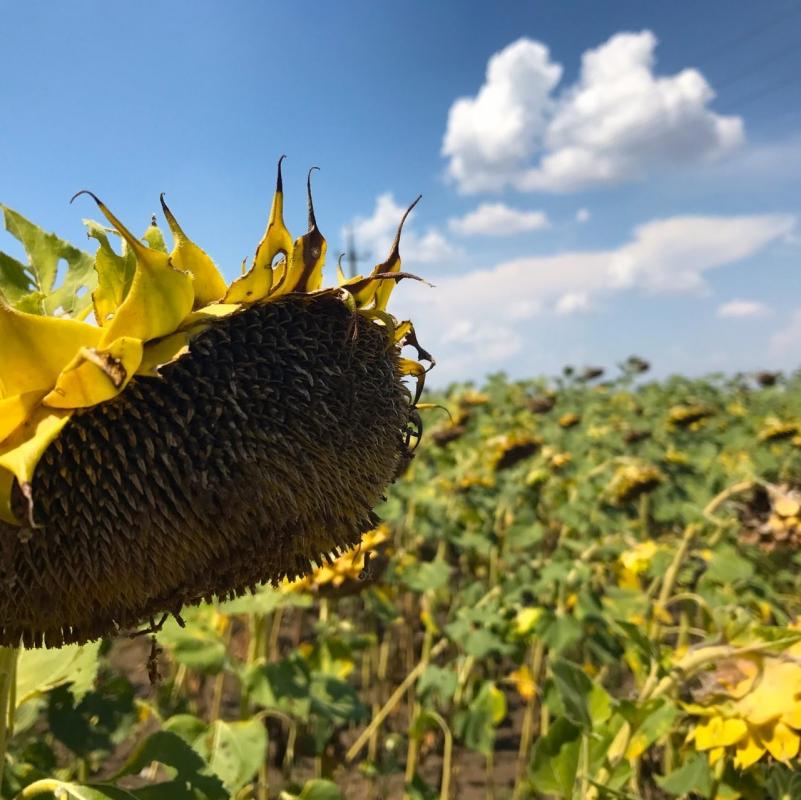 Насіння соняшнику ЄС Агрополіс КЛП купити