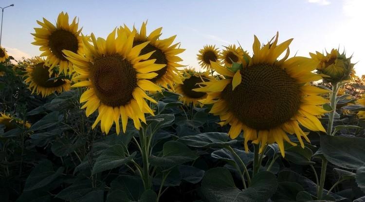 Семена подсолнечника ЕС Армоника купить