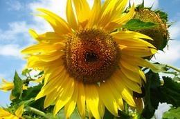 Насіння соняшнику ЄС Бостон СУ купити