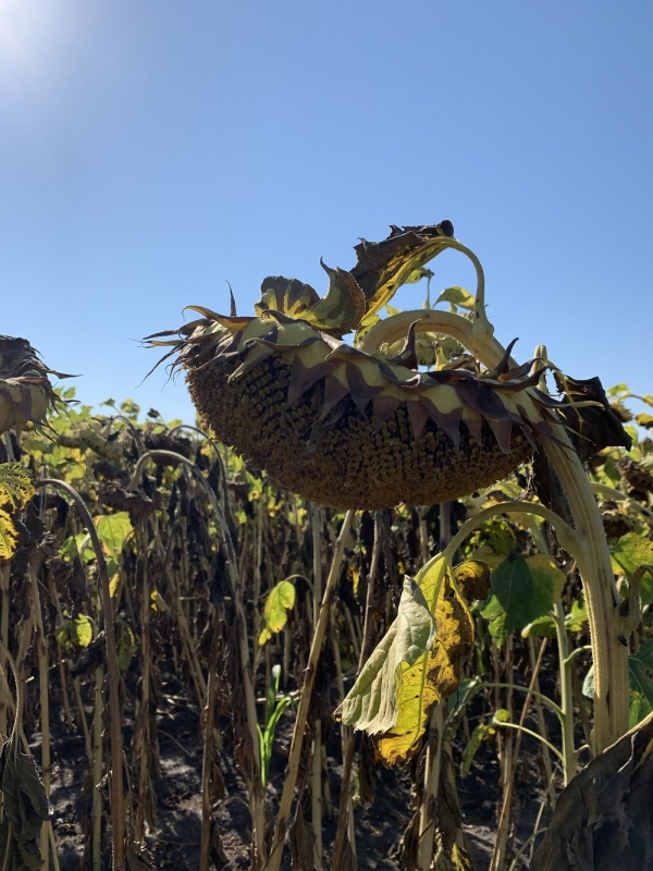 Семена подсолнечника Искандер