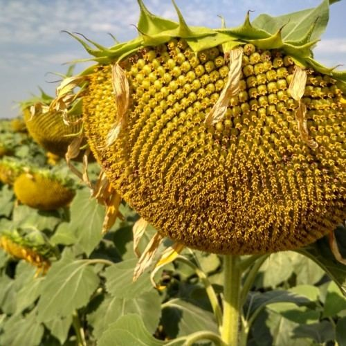 Семена подсолнечника Лакарен
