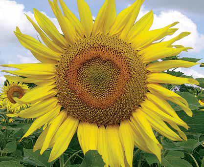 Насіння соняшнику ЛГ 50586 КЛП купити