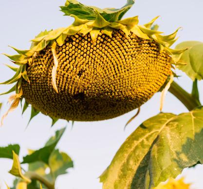 Насіння соняшнику ЛГ 50609 СХ купити