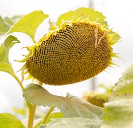 Семена подсолнечника ЛГ 5687 ХО купить
