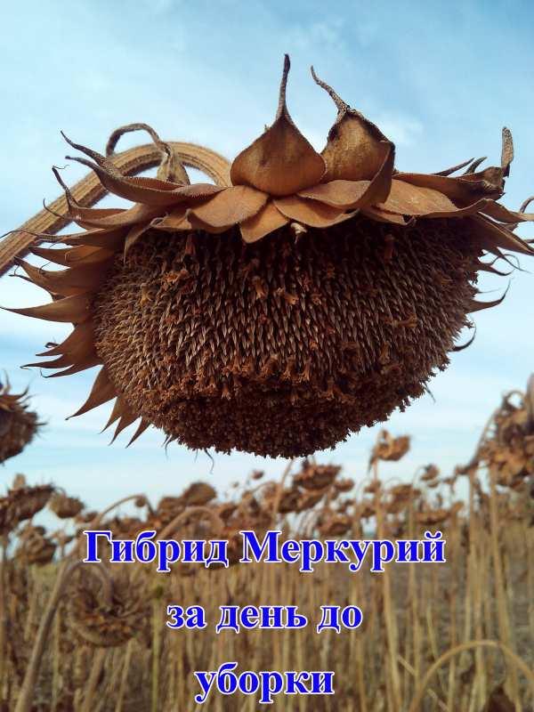 Посевной подсолнечник подсолнух семена гибрид Меркурий описание характеристика цена купить в Украине