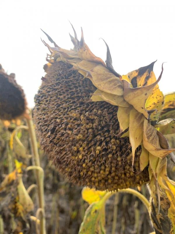Соняшник Одіссей ІМІ купити насіння гібрид